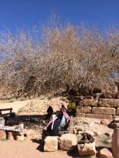 900 year old pistachio tree